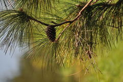 Pine bough Royalty Free Stock Photo