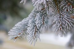 Pine bough covered in frost Royalty Free Stock Photo