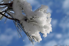 Pine Bough Covered in Snow Against a Blue Sky Royalty Free Stock Photography