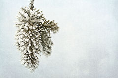 Pine needles with frost Royalty Free Stock Photos