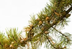 Pine Bough. Ponderosa Pine Bough Against White Background Cones Detail Stock Image