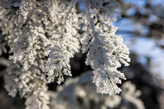 Pine boughs covered in hoar frost. Royalty Free Stock Photos