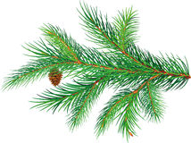 Pine branch. On white background Stock Photo