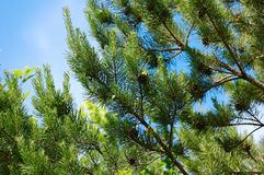 Pine branch. With cones against the blue sky Stock Photo