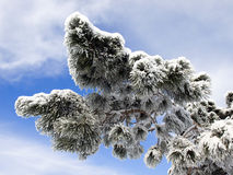 Pine branch. Stock Images