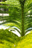 Pine branch. The branch of pine in Asia. The background is blurred Stock Photos
