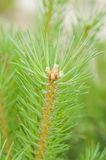 Pine branch Royalty Free Stock Image