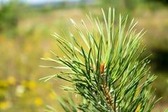 Pine branch Stock Photos