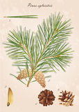 Pine branch. Pinus sylvestris. Pine branch with cones, needles and seeds, vector Royalty Free Stock Photo