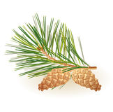 Pine branch royalty free illustration