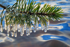 Pine branch Royalty Free Stock Photography