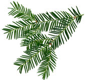 Pine branch. Fresh Pine leaves isolated on white background Stock Photo
