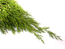 Pine branch Royalty Free Stock Images