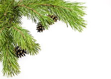 Pine branch. With cones  on white background Stock Image