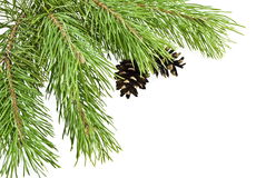 Pine branch. Isolated on white background Royalty Free Stock Image