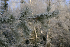 Pine branch. In russian winter royalty free stock photos