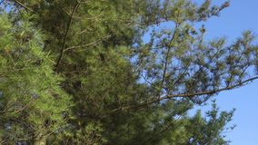 Pine branch against the blue sky in early spring.  stock footage