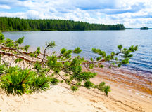 Pine branch against forest lake. Summer day on a forest lake in Karelia, Russia royalty free stock photo