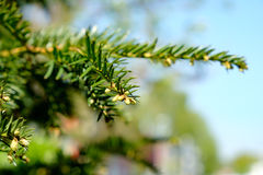 Pine branch against the sky Stock Photo
