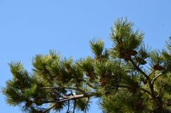 Pine branch against the sky. Pine branch against sky blue stock photography