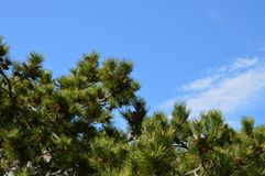 Pine branch against the sky. Pine branch against sky beatiful stock photography
