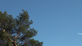Pine branch and airplane silhouette. With white trail on clean sky stock video