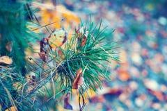 Pine branch in autumn Stock Photo