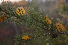 Pine branch in autumn leaves!. Beautiful autumn! Winter is coming Stock Photo