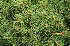Pine branch background Royalty Free Stock Images