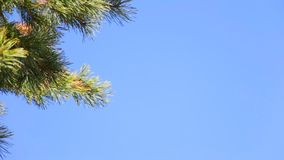 Pine branch on blue sky. Pine branch on a background of blue sky. Selective focus stock video