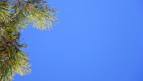 Pine branch on blue sky. Pine branch on a background of blue sky. Selective focus stock footage