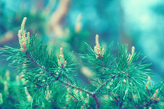 Pine branch for background Stock Images
