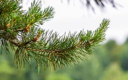Blossoming branch of a pine Stock Photo