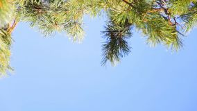 Pine branch on blue sky. Pine branch on a background of blue sky. Selective focus stock video footage