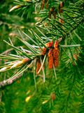 Pine branch with blurry background. Beautiful spring photo stock photo