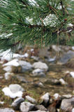 Pine branch. Es bending over creek Stock Image
