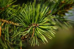 Pine branch with buds close-up stock photos