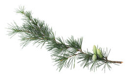 Pine branch. With buds isolated on white Royalty Free Stock Images