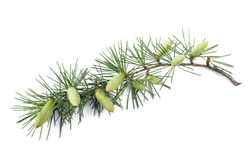 Pine branch with buds Royalty Free Stock Photos
