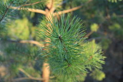 Pine branch close-up. Against a pine forest background royalty free stock images