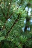 Young pine branch with rain drops on needles Stock Image