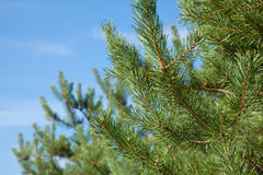 Pine branch close-up on a blurred background of blue sky. With pine branches in the sun closeup on the blurry background of blue sky Stock Photo
