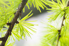 Pine branch close-up. Forest tree macro view. soft focus. Spring time season concept. Stock Photography
