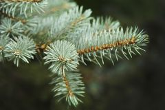 Pine branch close-up royalty free stock photo