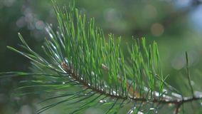 Pine branch close up. stock footage