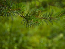 Pine branch close up after rain on blurred background. Pine branch close up after rain on blurred colorful background forest Royalty Free Stock Photo
