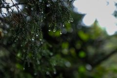 Pine branch close up with raindrops royalty free stock image