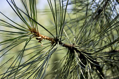 Pine branch close up. Summer Royalty Free Stock Image