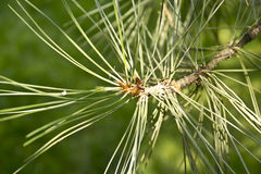 Pine branch close up. Summer Royalty Free Stock Photo