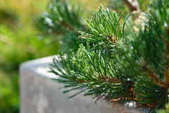 Pine branch close-up Royalty Free Stock Photos